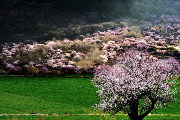 Tibet Linzhi Peach Blossom